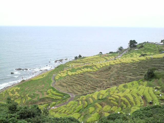 千枚田の稲刈り